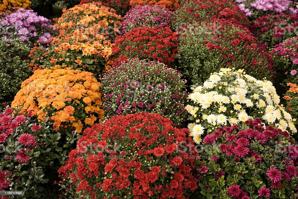 Mums of Many Colors royalty-free stock photo