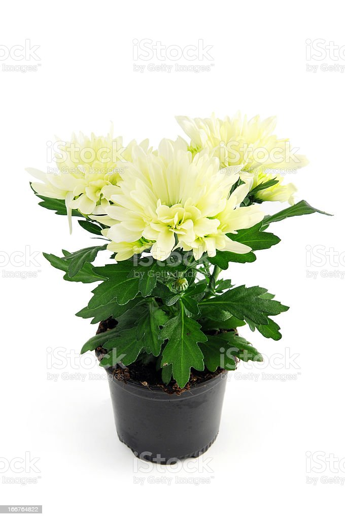 Mums (Chrysanthemums) on white background stock photo