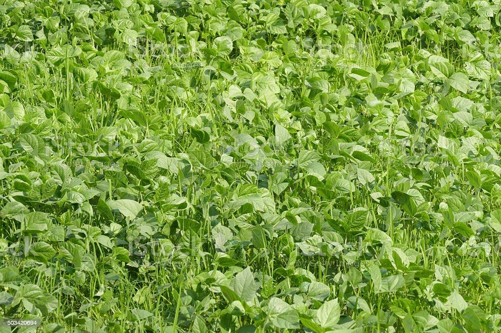 mung bean cultivation stock photo