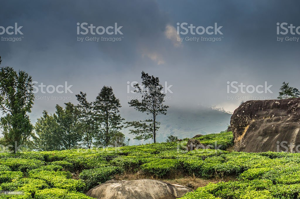 Munnar tea plantation stock photo