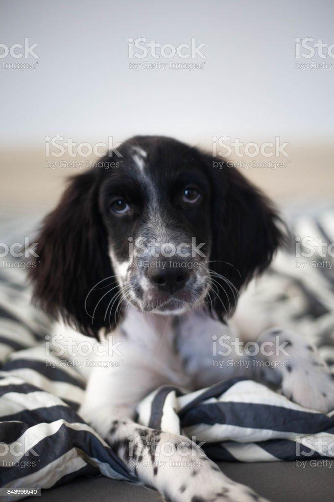 Munsterlander puppy looking sweet stock photo