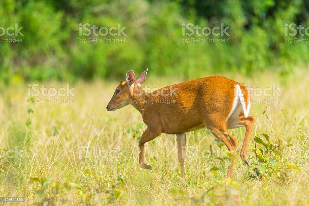 Muntiacus muntjak or fea's barking deer stock photo