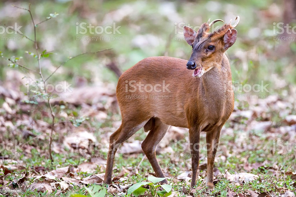 Muntjac deer in forest stock photo