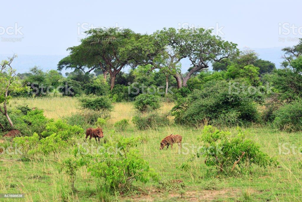 Murchison Falls park, Uganda, Africa stock photo