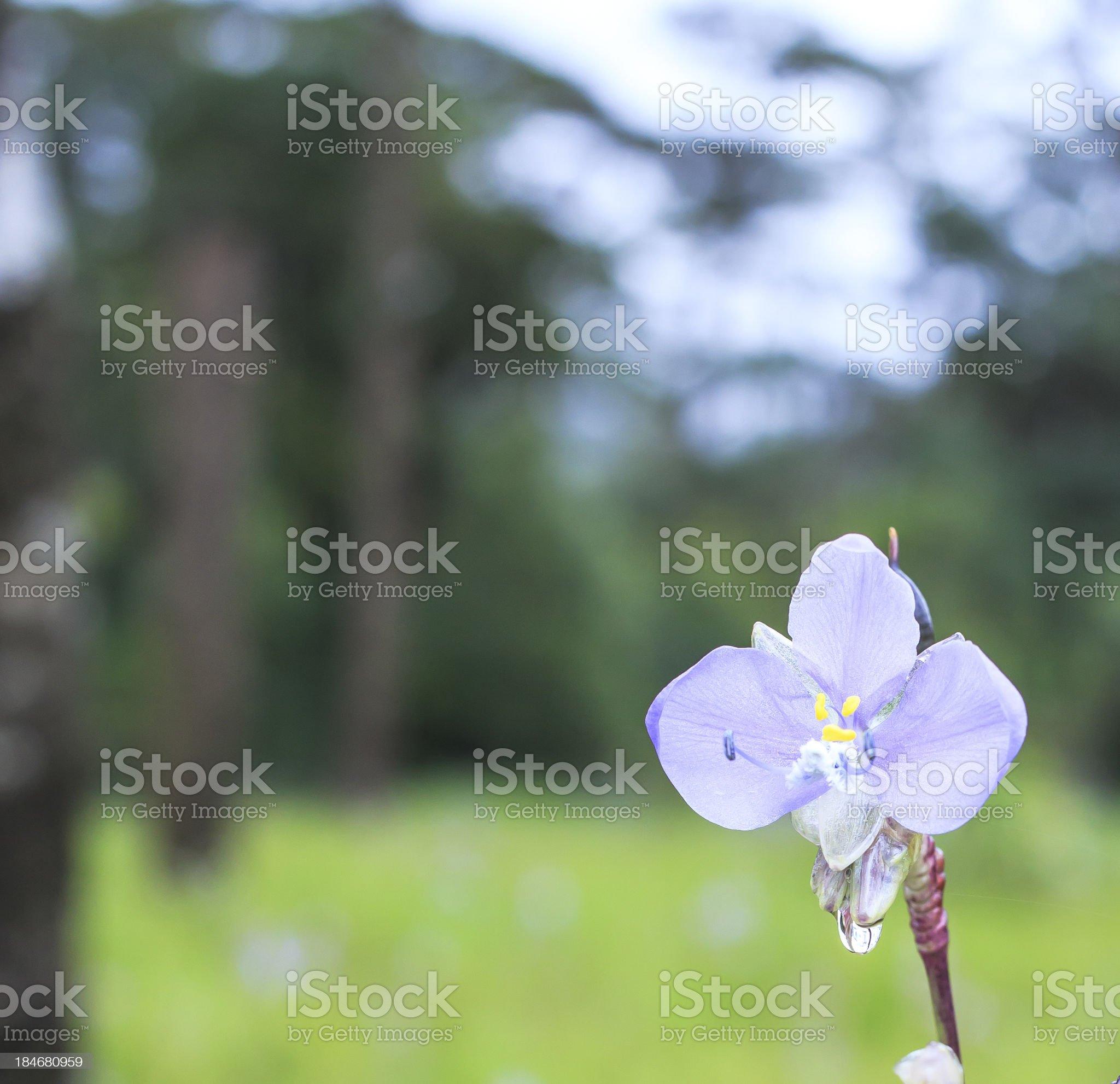 Murdannia giganteum flower royalty-free stock photo