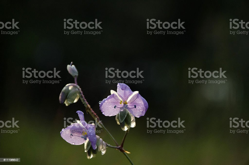 Murdannia giganteum, Thai violet flower in winter season stock photo