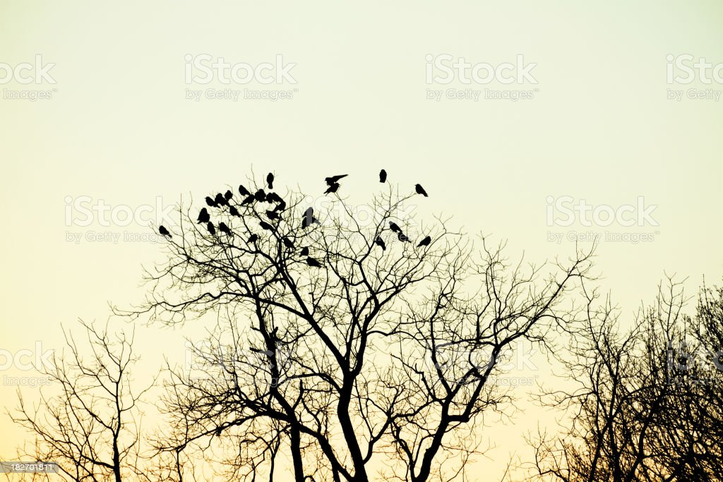 Murder of Crows at Dusk stock photo
