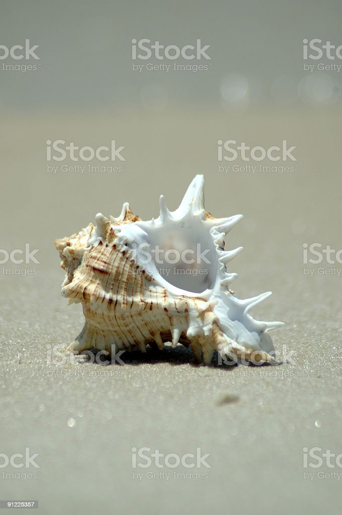 Murex on Beach stock photo