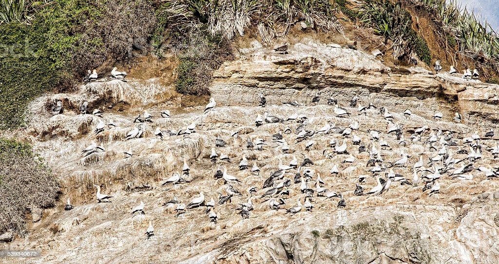 Muriwai gannet colony stock photo