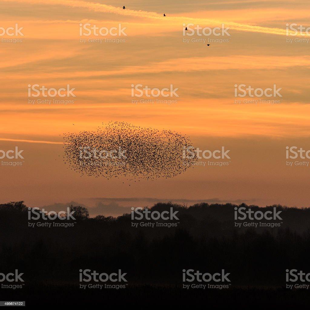 Murmuration of starlings stock photo