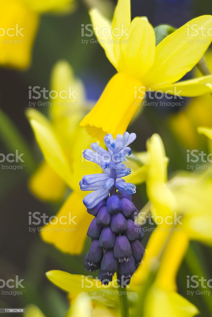 Muscari and Narcissus royalty-free stock photo