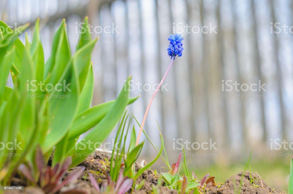 Muscari armeniacum - hyacinth stock photo