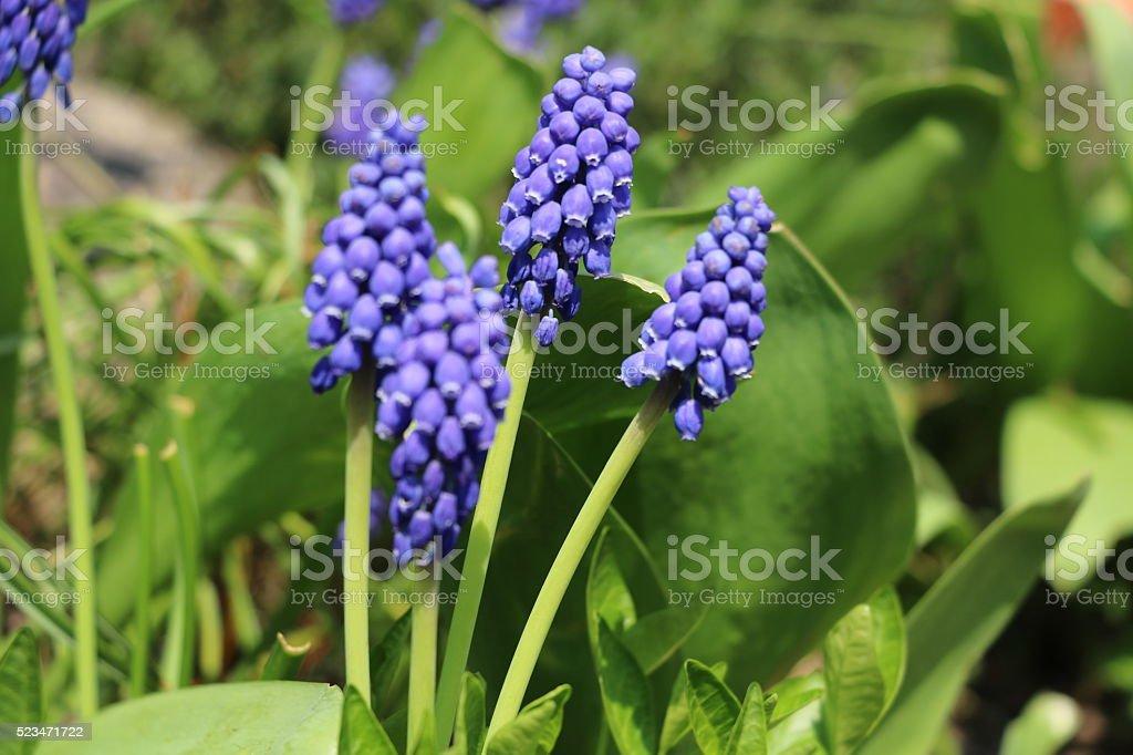 Muscari armeniacum in spring stock photo