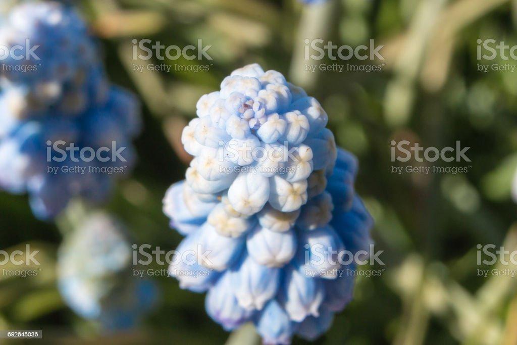 Muscari flowers Blue Magic aucheri macro view. stock photo