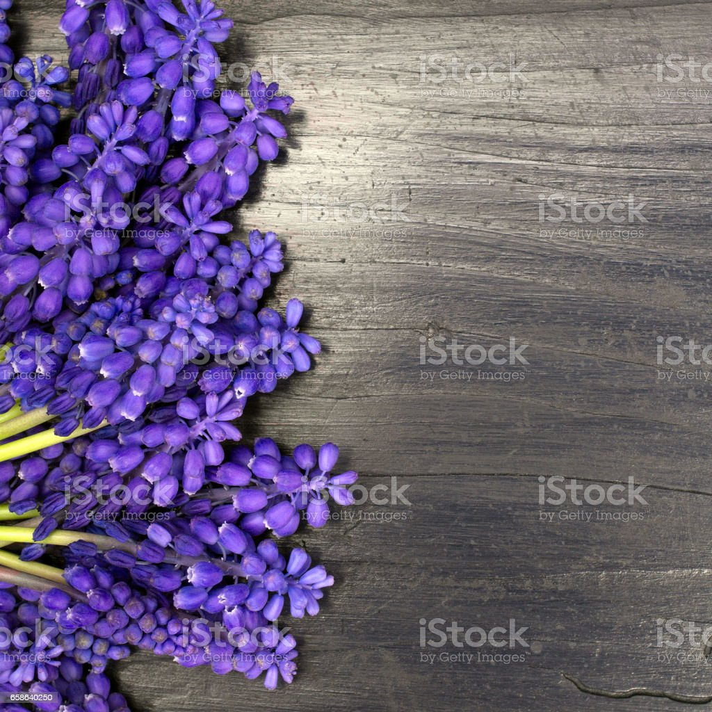 Muscari flowers frame on a dark wooden table stock photo