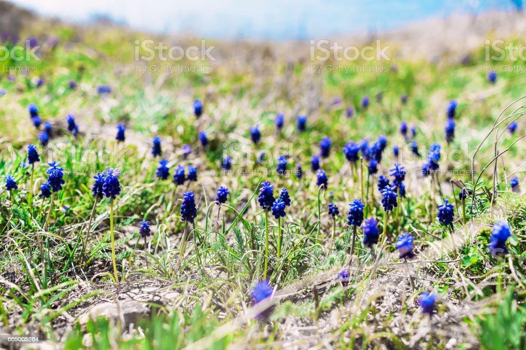 Muscari flowers in nature stock photo