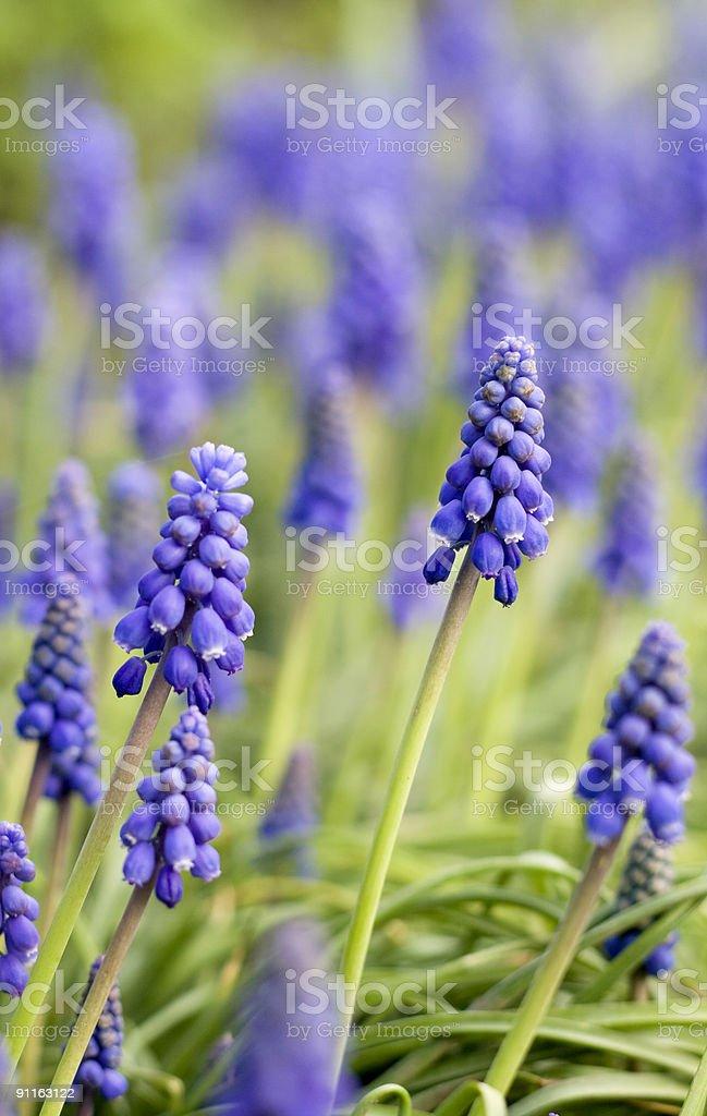 Muscari in garden royalty-free stock photo