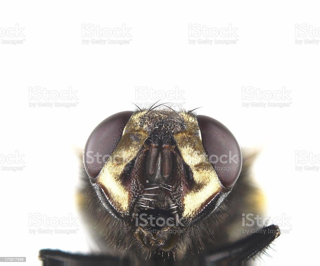 Muscid fly (Mesembrina meridiana) royalty-free stock photo