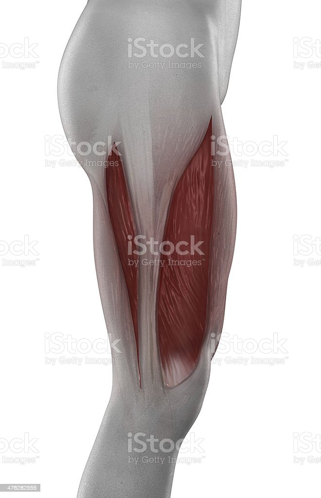 VASTUS LATERALIS muscle anatomy isolated stock photo