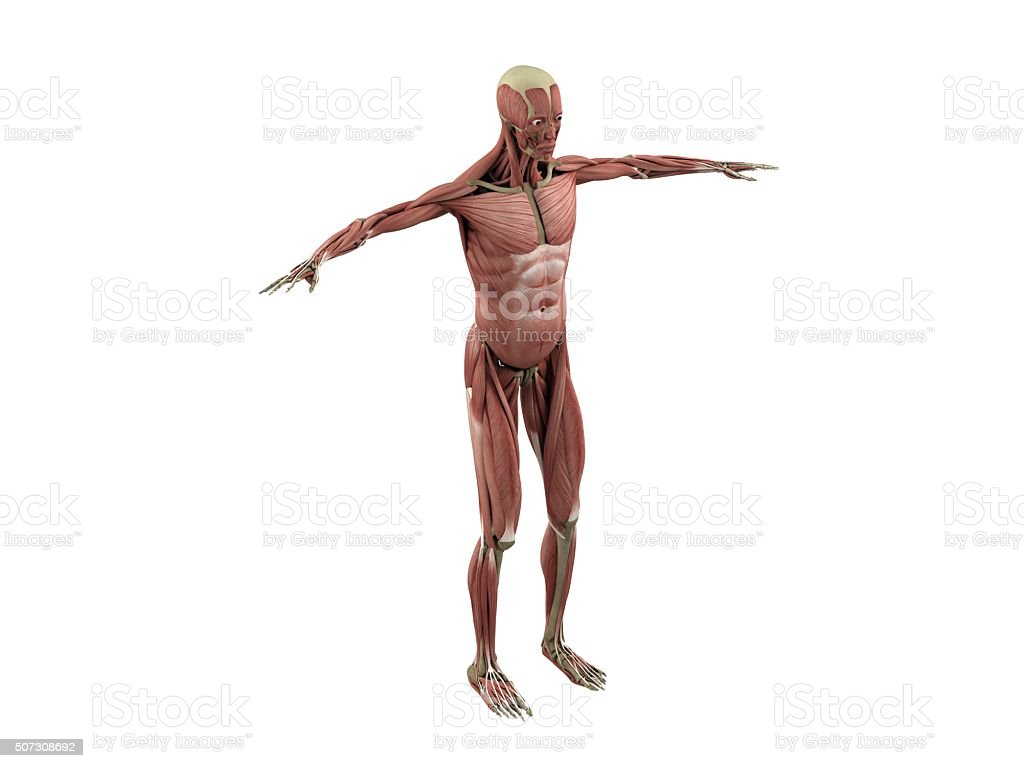 muscle and skeleton stock photo