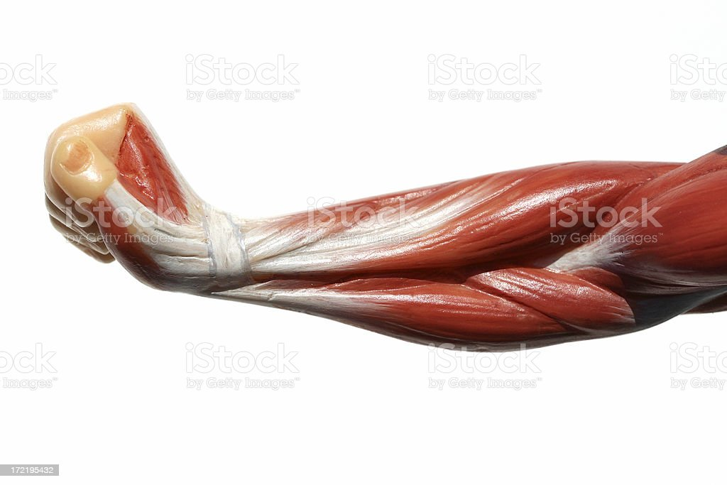 Muscles - Arm royalty-free stock photo