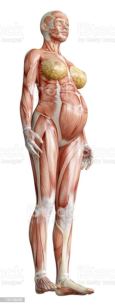 Muscles of a pregnant body stock photo