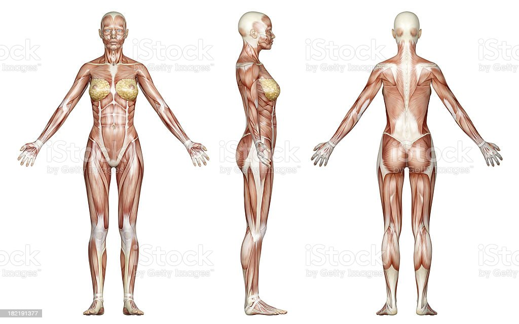 Muscles of a slim woman, for study royalty-free stock photo