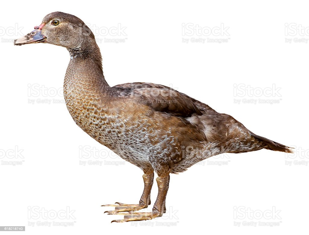 Muscovy Duck Cairina moschata isolated on white background with clipping stock photo