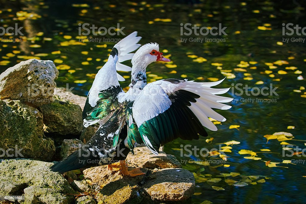 Muscovy Duck on the Shore stock photo