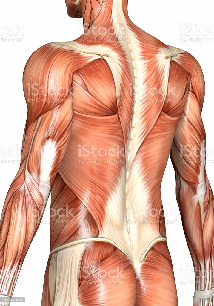 Muscular back of a man stock photo