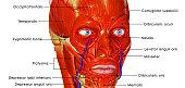 Muscular face