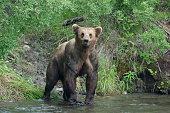 Muscular scarred brown bear with aggressive look.