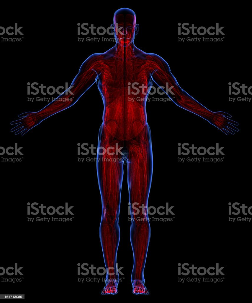 Muscular system royalty-free stock photo