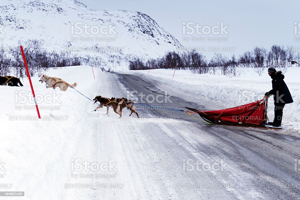 Musher with a dogsled  crossing the icy road in Norway stock photo