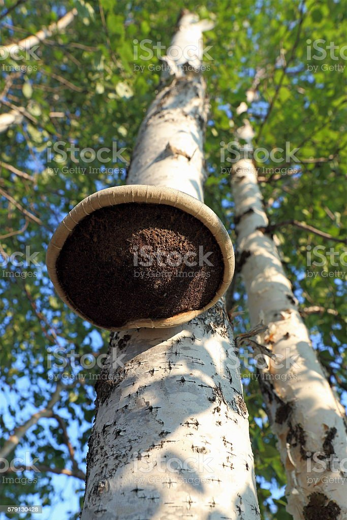 Mushroom a parasite on an old tree stock photo