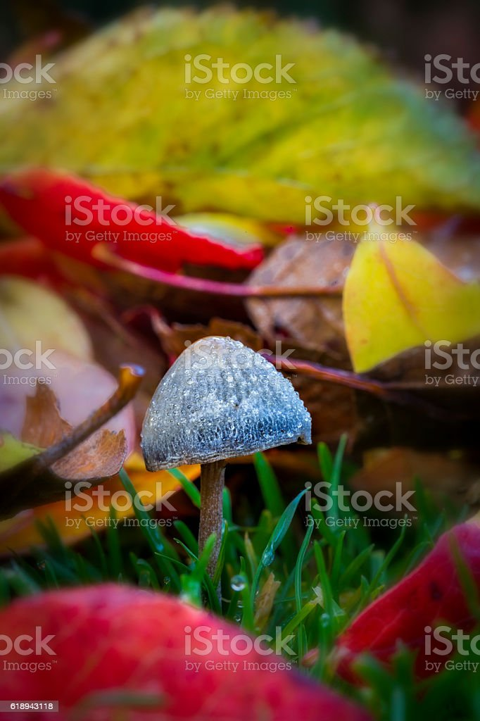 Mushroom among autumn leafs stock photo