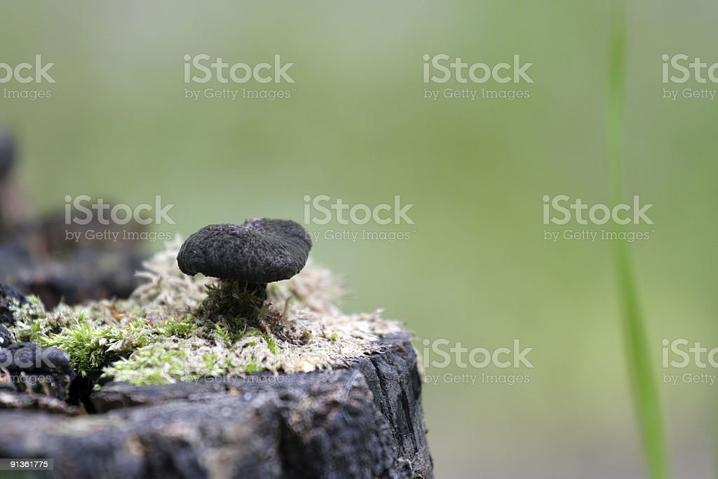 mushroom at stump royalty-free stock photo