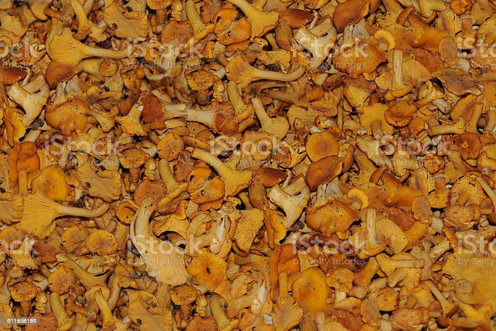 Mushroom - Cantharellus cibarius stock photo