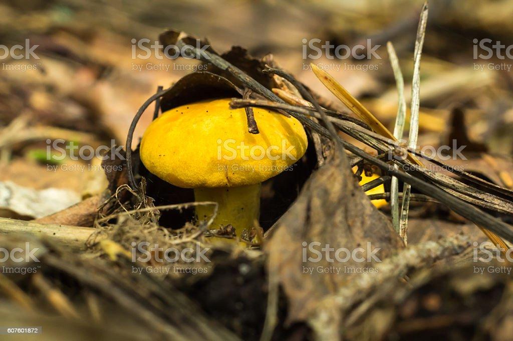 Mushroom 'Chanterelle ordinary' (lat. Cantharellus cibarius) stock photo