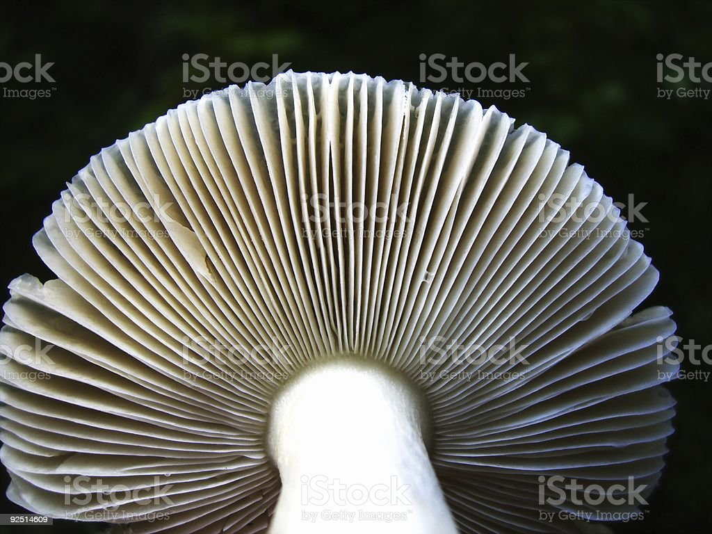 Mushroom Closeup royalty-free stock photo