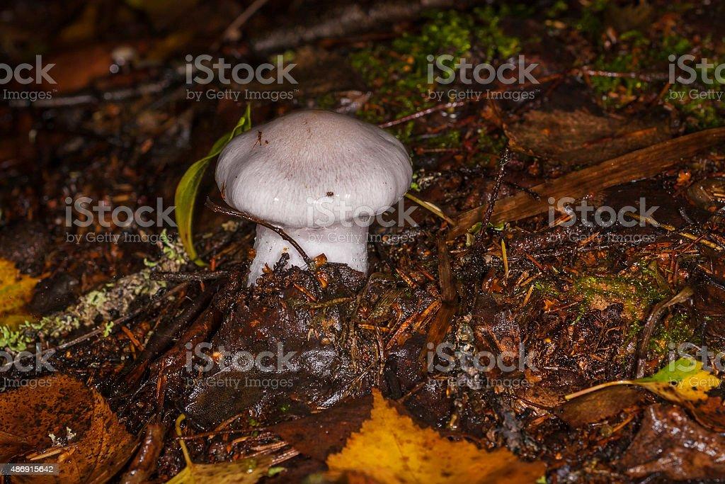mushroom Cortinarius in the forest stock photo