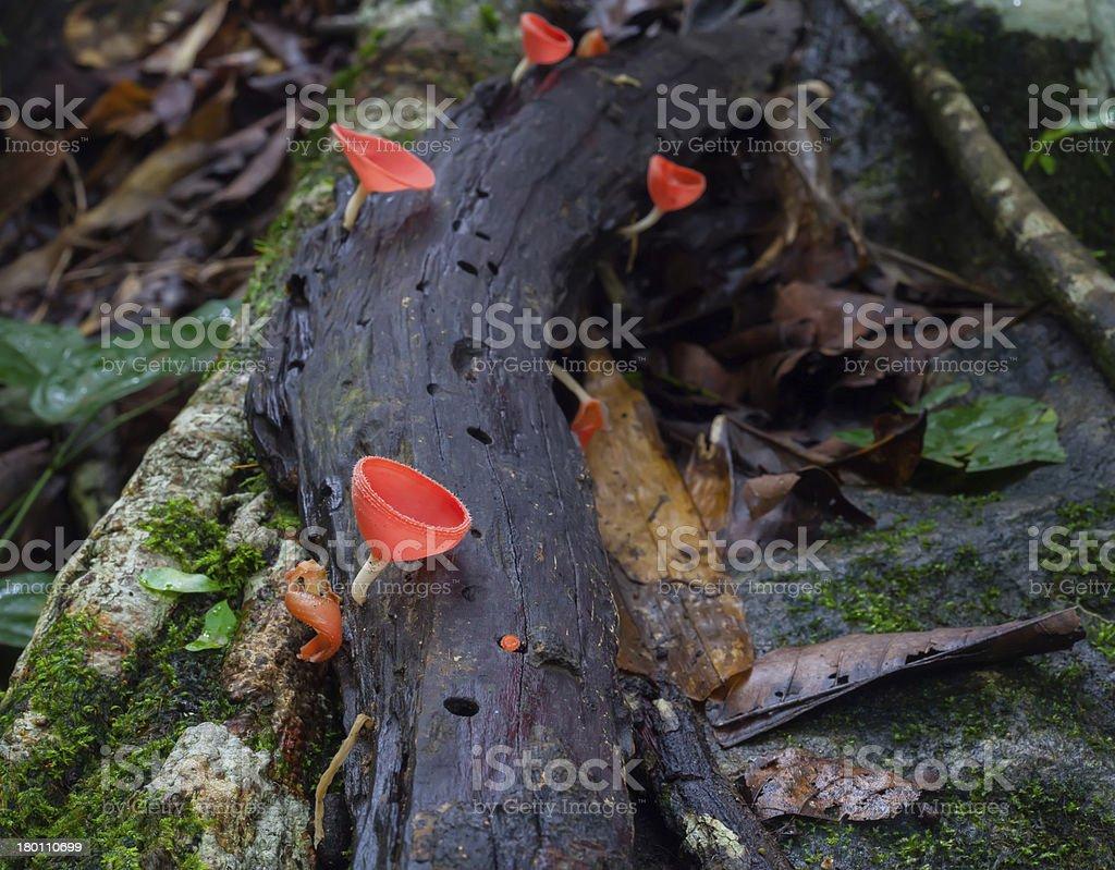 Mushroom Fungi Cup royalty-free stock photo