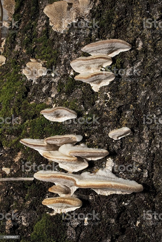Mushroom, Fungus, Tree, Shelf, Forest stock photo