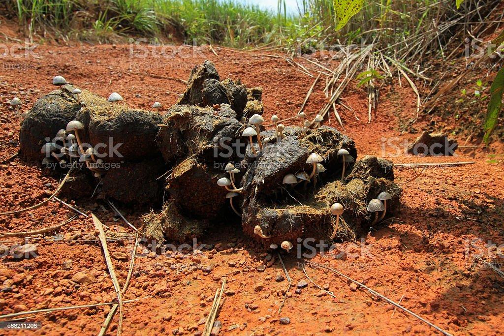 Mushroom growing on elephant shit royalty-free stock photo