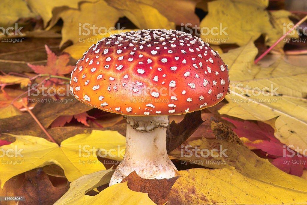 Mushroom in Fall stock photo