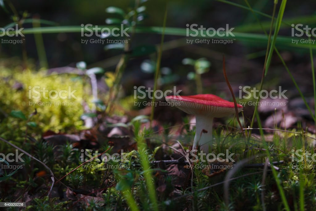 mushroom in forest with red cap stock photo
