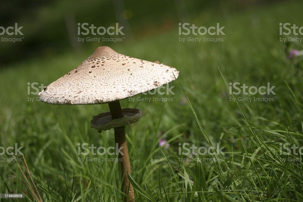 Mushroom in grass royalty-free stock photo