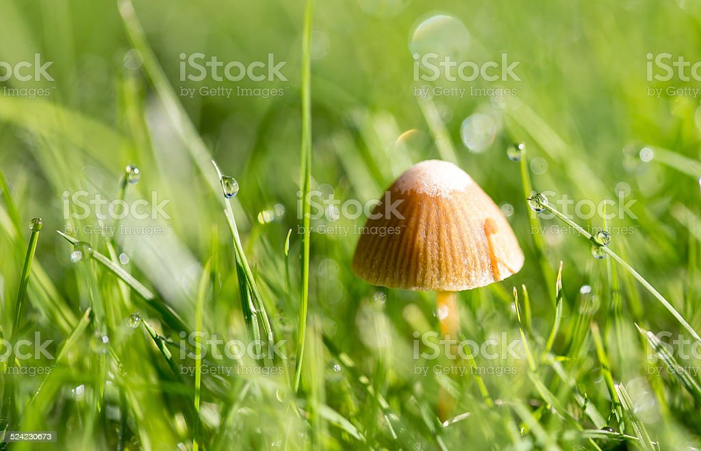 Mushroom in grass with water drops royalty-free stock photo
