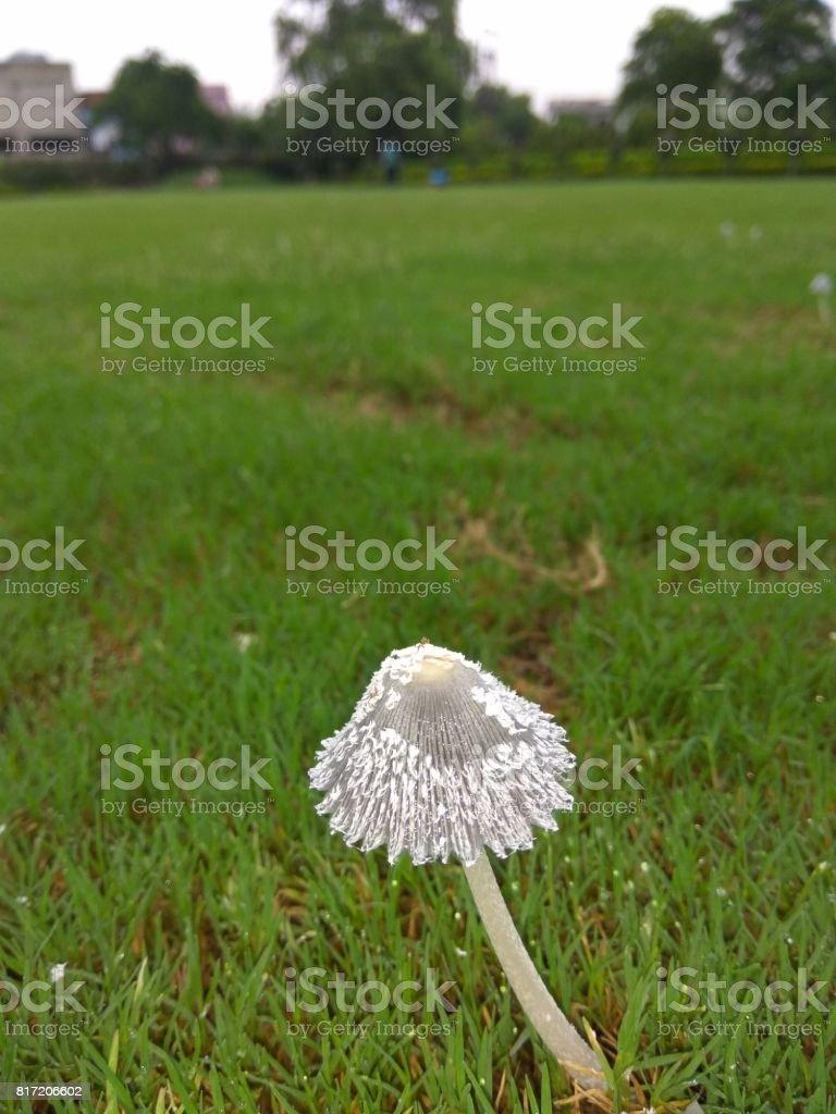 Mushroom in grassy field. stock photo