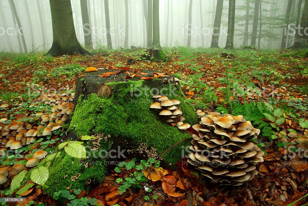 Mushroom in Misty and Rainy Autumn Forest stock photo